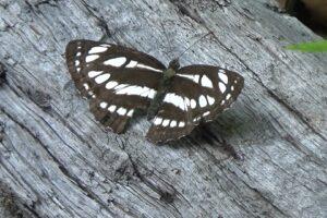 八ヶ岳周辺はチョウの種類が豊富