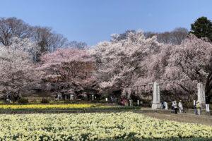 2021年春の八ヶ岳周辺の桜・桃の花